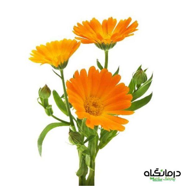 گل همیشه بهار calendula officinalis