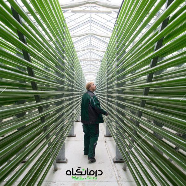 تولید جلبک کلرلا ولگاریس