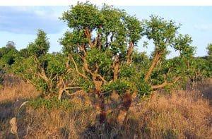 درخت-یوهیمبین